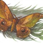 Рыжая японская павлиноглазка  150x150 - Бабочки