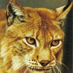 Рысь  150x150 - Другие животные
