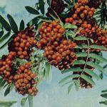Рябина обыкновенная 150x150 - Различные растения