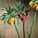 Рябчик 150x150 - Цветы