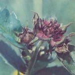 Сабельник болотный 150x150 - Цветы