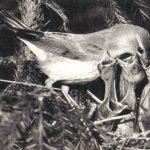 Садовая славка 150x150 - Птицы