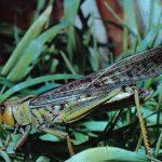 Саранча перелётная 150x150 - Прочие насекомые