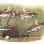 Светлячок Грацилис 150x150 - Аквариумные рыбки