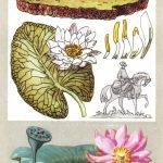 Семейство кувшинковых 150x150 - Удивительные растения