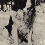 Сенбернар 150x150 - Собаки чёрно-белые
