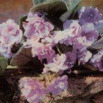 Сентполия Узумбарская фиалка 150x150 - Цветы