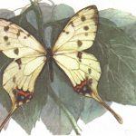 Серицин амурский  150x150 - Бабочки