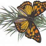 Сефиза двуцветная  150x150 - Бабочки