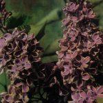 Сирень в саду 150x150 - Цветы