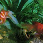 Ситцевый вуалехвост 150x150 - Аквариумные рыбки