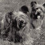 Скай терьеры 150x150 - Собаки чёрно-белые