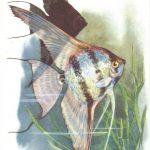 Скалярия 150x150 - Аквариумные рыбки