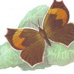 Складокрылка Фельдера  150x150 - Бабочки