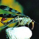 Скорпионница обыкновенная 150x150 - Прочие насекомые