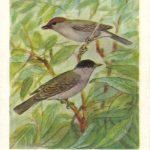 Славка черноголовка 150x150 - Птицы