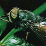 Слепень 150x150 - Прочие насекомые