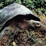 Слоновая черепаха  150x150 - Другие животные