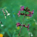 Смолка обыкновенная 150x150 - Цветы