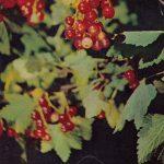 Смородина красная 150x150 - Различные растения