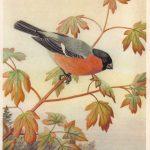 Снегирь 150x150 - Птицы