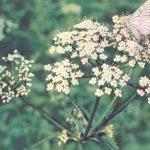 Сныть обыкновенная 150x150 - Цветы