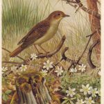 Соловей 150x150 - Птицы