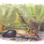 Сомик крапчатый 150x150 - Аквариумные рыбки
