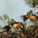 Сорочий цвет 150x150 - Аквариумные рыбки