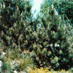 Сосна горная 150x150 - Различные растения
