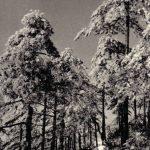 Сосны в снегу 150x150 - Пейзажи