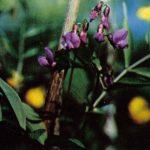 Сочевичник 150x150 - Цветы