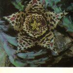 Стапелия пёстрая 150x150 - Цветы