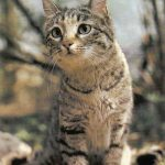 Степная кошка  150x150 - Другие животные