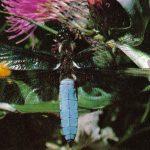 Стрекоза плоская 150x150 - Прочие насекомые