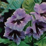 Стрептокарпус гибридный 150x150 - Цветы