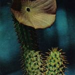 Суккулент Гудия Бейна 150x150 - Цветы