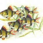 Суматрансий барбус 150x150 - Аквариумные рыбки