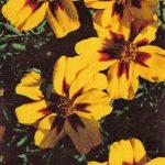 Тагетис 150x150 - Цветы