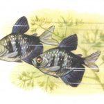 Тернеция 150x150 - Аквариумные рыбки