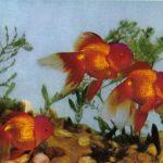 Тигроголовки 150x150 - Аквариумные рыбки