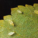 Тли 150x150 - Прочие насекомые