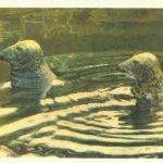Тюлени 150x150 - Ленинградский Зоопарк