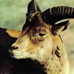 Уриал  150x150 - Другие животные