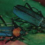 Усач мускусный и усач Сиверса  150x150 - Жуки