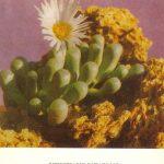 Фенестрария ропалофилла 150x150 - Цветы