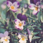 Фиалка трёхцветная или анютины глазки 150x150 - Цветы