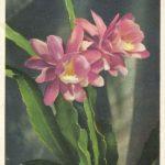 Филокактус 2 150x150 - Цветы