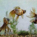 Фиолетовый драконов глаз 150x150 - Аквариумные рыбки
