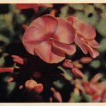 Флоксы 150x150 - Цветы